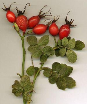 Mi a csipkebogyó használata a visszér ellen. Gyógynövényekkel a visszér ellen