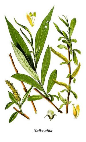 Fehér fűz (Salix alba)