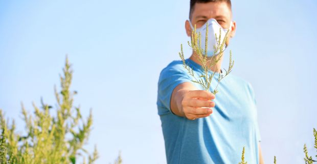 Erősödik a parlagfű pollenszórása