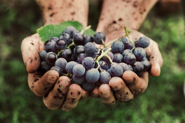 Napokig élhetnénk a gyógyító szőlőn