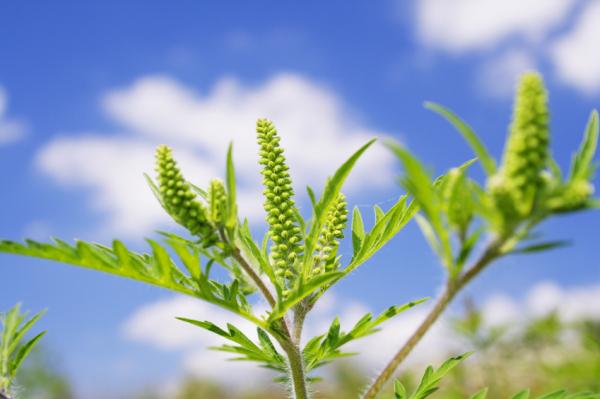 Már tüneteket okozhat a parlagfű virágzása