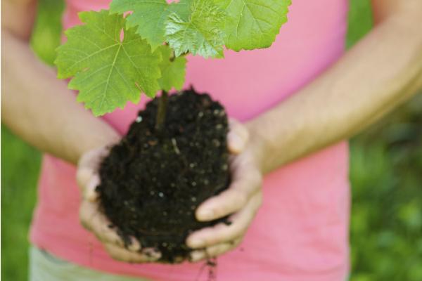 Fontos dolgot találtak a szőlő gyökerében Keszthelyen