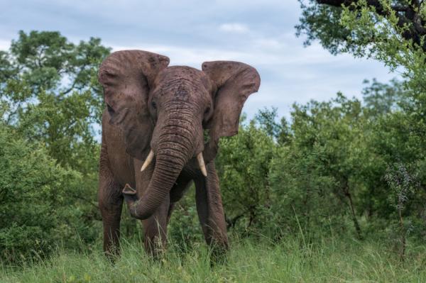 Miért nem lesznek rákosak az elefántok?