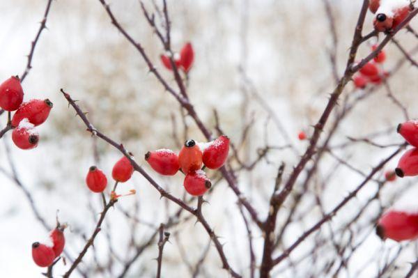 Fűben-fában orvosság: Csipkebogyó