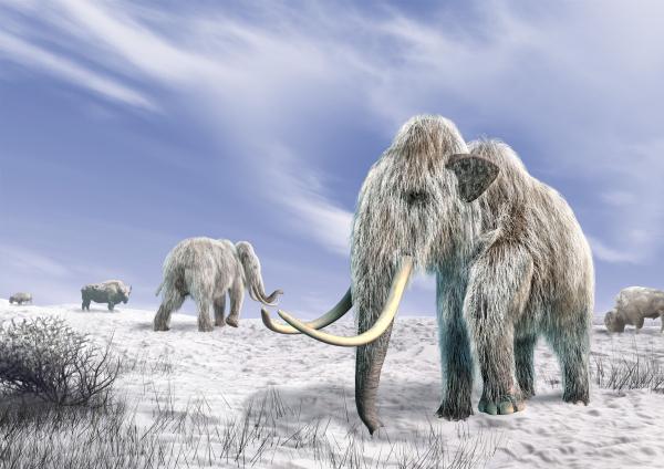 Genetikai hibák okozhatták a gyapjas mamut kihalását