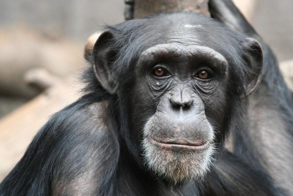 Ebola ellen oltanák a csimpánzokat