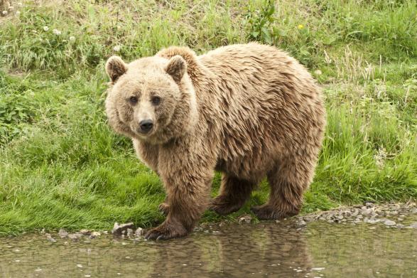 Lazac helyett fekete bodzát eszik a medve