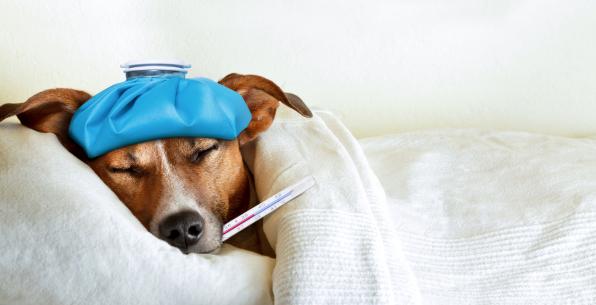 A kutyák is influenzával küzdenek