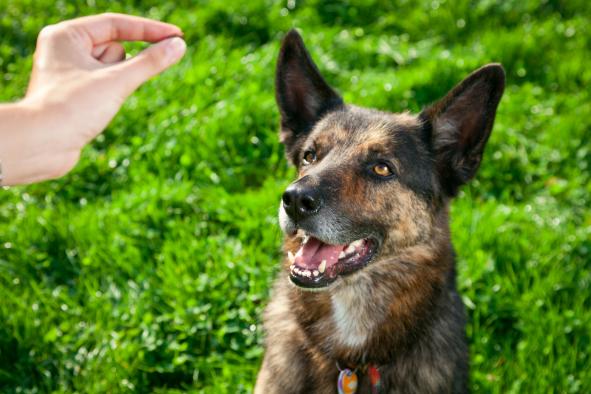 A kutyák jutalomérzékenysége