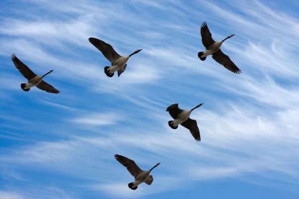 A madarakat a vándorlása és a trópusi betegségek