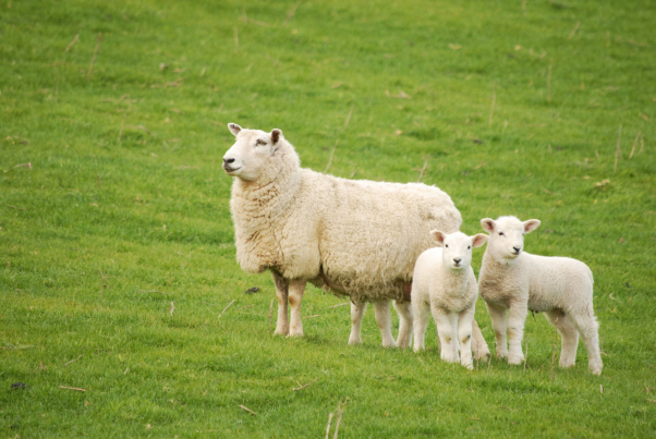 A világ legdrágább báránya