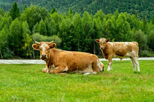 A szarvasmarhák gyomra képes lebontani a műanyagot