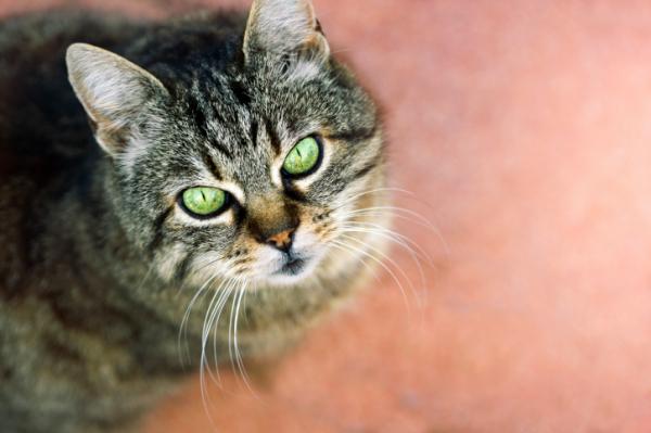 Így alakul ki a macskaszőr-allergia