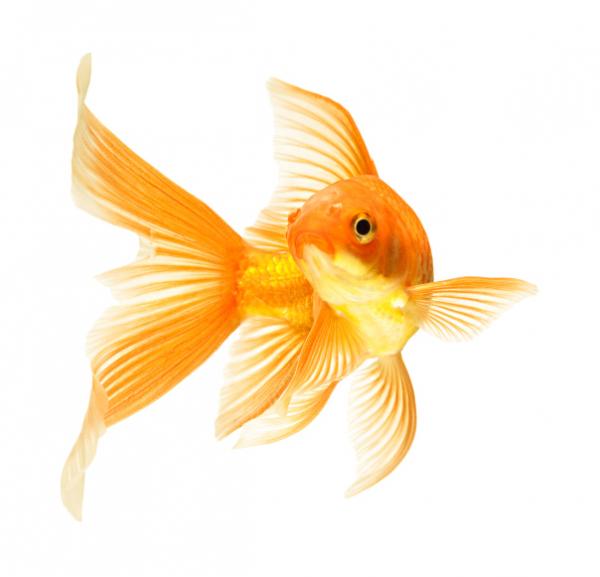 Az aranyhalaknak