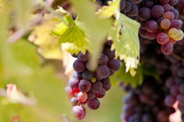 Vörös szőlő, a természet orvossága