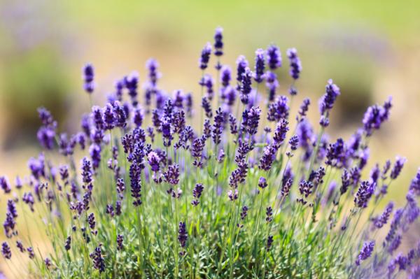 5 gyógynövény izomláz ellen