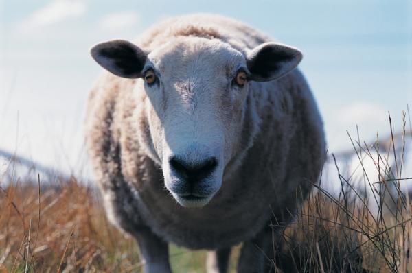 Élelmiszerbotrány: Szennyezett víz a bárányhúsban