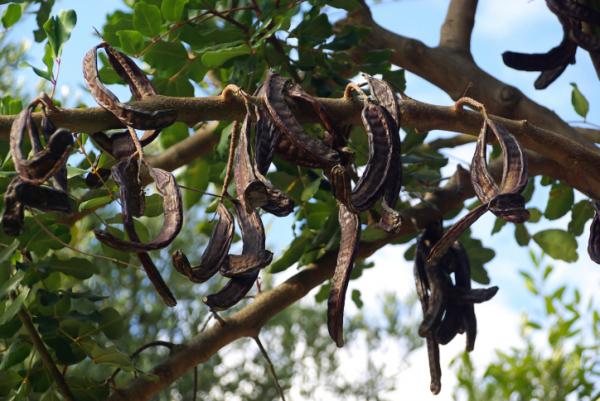 Szentjánoskenyérfa, a hányás ellenszere