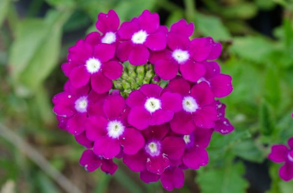 Napi gyógynövényünk: Vasfű, másnéven verbéna