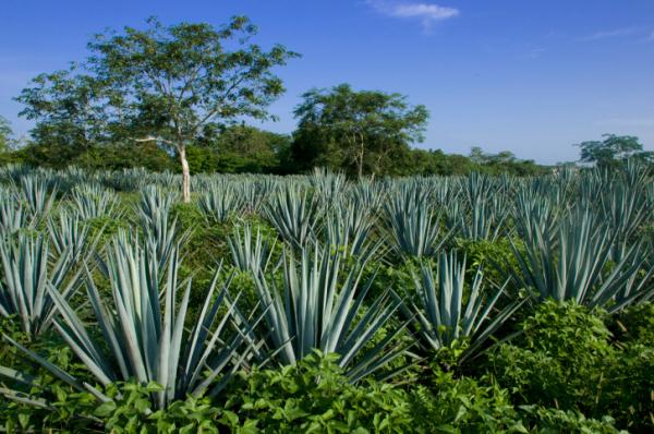 Agávé, a tequila és a fogamzásgátló alapja