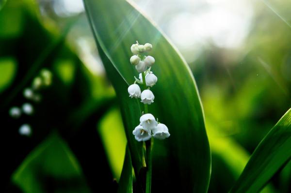 Gyöngyvirág: kis menniységben gyógyszer, nagyban méreg