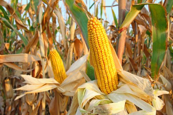 A kukorica és a bajsza - Mit gyógyít?