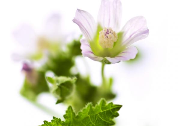 Gyógynövény a gyomorfekélyre