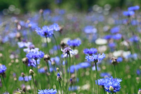 Búzavirág, borogatás a gyulladt szemre