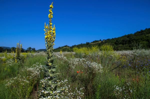 Gyógynövény az aranyérre: ökörfarkkóró