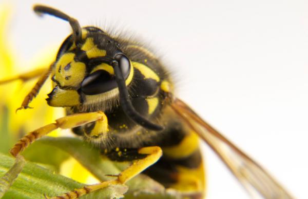 Darázs vagy méh - Meg tudod őket különböztetni?
