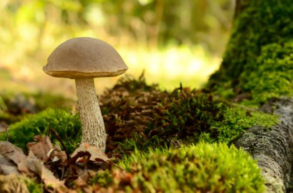 Gombaszedés felelősen - Ne ártsunk az erdőknek!