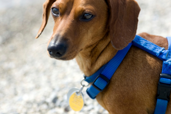 A kutyasétáltatás jövője