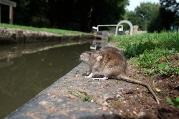 Nem is a patkányok a felelősek a pestisjárványokért