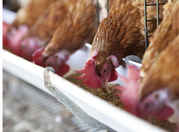Nem árul több antibiotikumos csirkét a McDonald's - Legalábbis Amerikában