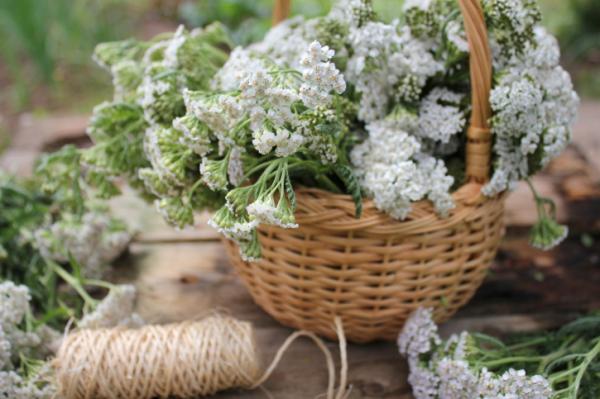 Gyógynövények fejfájás ellen